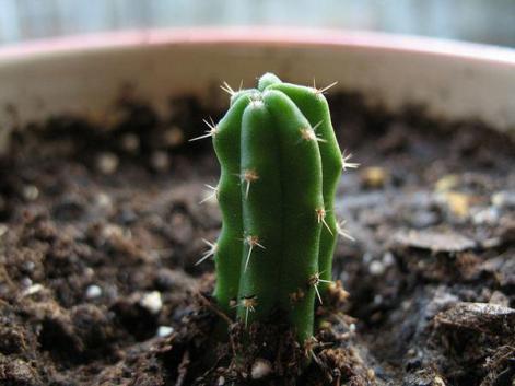 Cactus San Pedro (tratta da internet)